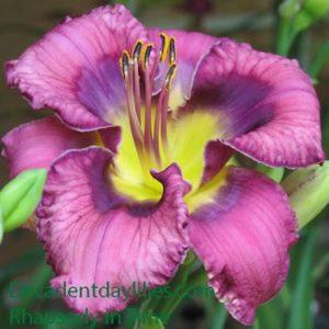 Daylilies For Sale Corowa.jpg