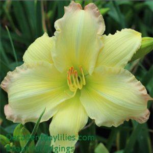 Daylily Beautiful Edgings.jpg